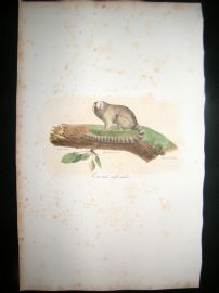 Saint Hilaire & Cuvier C1830 Folio Hand Colored Print. Male Marmoset Monkey